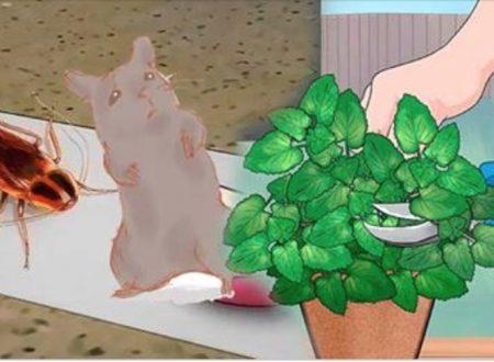 Per allontanare topi e scarafaggi da casa tua basta una pianta