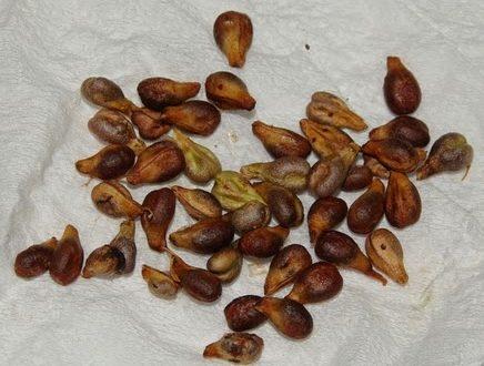 Il seme che migliora la vista, elimina le rughe e fa ricrescere i capelli
